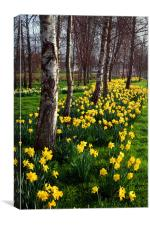 Daffodils in Mitchell Gardens, Chard, Somerset, Canvas Print