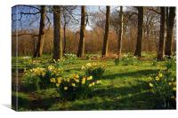 Graves Park Daffodils, Sheffield, Canvas Print