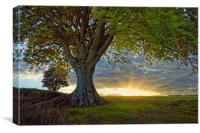 Sunset under the Beech                           , Canvas Print