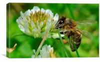 Bee in Clover, Canvas Print