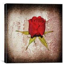Little red rose..., Canvas Print