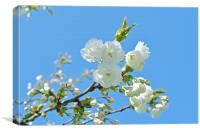 Cherry Blossoms and the blue sky., Canvas Print