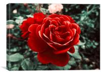 Red Rose Of Love, Canvas Print