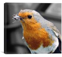 Hungry Robin, Canvas Print