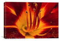 Deep Red Lilly                           , Canvas Print