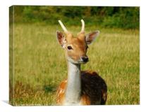 A Young Deer, Canvas Print