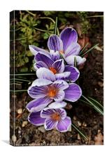 Lilac and white pickwick crocus, Canvas Print