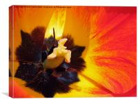 Red and yellow tulip stamens, Canvas Print