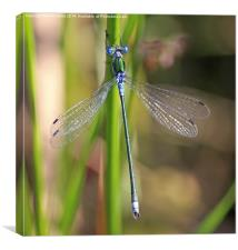 The Emerald Damselfly, Canvas Print