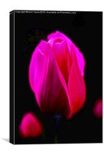 Purple Tulip , Canvas Print