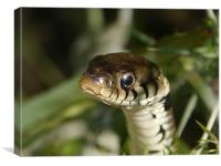 Grass snake in the grass, Canvas Print