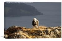 Sheep in Sun, Canvas Print