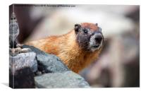 Marmot watching, Canvas Print
