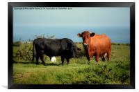 Bullock and Cow., Framed Print