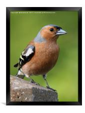 Male Chaffinch on post, Framed Print