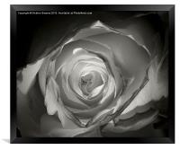 A Glowing Rose  , Framed Print