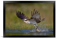 Osprey with catch, Framed Print