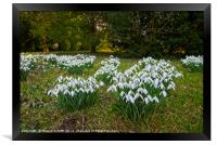 Snowdrops (Galanthus) at Thorp Perrow, Framed Print