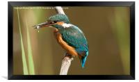 kingfisher with fish , Framed Print