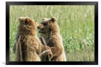 Brown Bear Cubs - Face Off, Framed Print