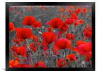 Red Poppies, Framed Print