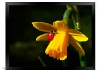 Ladybird on Daffodil in Sunshine, Framed Print