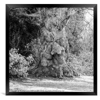 Old Man Tree seen in the grounds of a local park., Framed Print