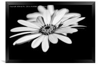 Osteospermum and fly, Framed Print