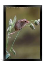 Harvest mouse, Framed Print