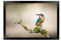 Kingfisher with oil painting effect, Framed Print