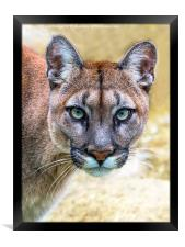 Cougar is watching you , Framed Print