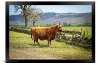 Long haired and horned Highland cow in a Scottish , Framed Print