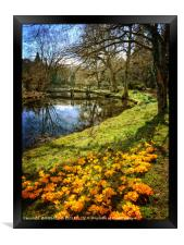 """""""Crocuses in Tree reflections"""", Framed Print"""