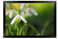 Snowdrops at eye level with copy space, Framed Print