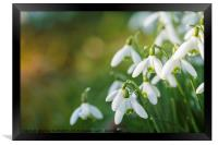 Snowdrop flowers with blurred copy space, Framed Print