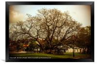 100 year old tree in the Highstreet, Framed Print