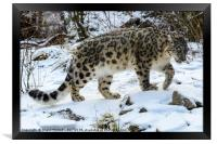 Snow Leopard, Framed Print