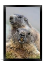Two Marmots, Framed Print