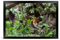 Hidden Red Fox, Framed Print