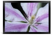Close up of a purple and white Clematis	 , Framed Print