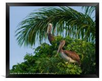 Mr and Mrs Pelican, Framed Print