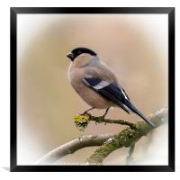 Bullfinch, Framed Print