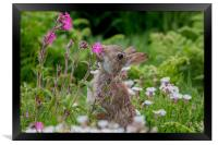 Wild Rabbit in the Red Campion, Framed Print