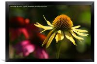 Yellow Echinacea, Framed Print