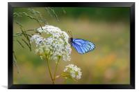 Butterfly with blue wings sits on the field flower, Framed Print
