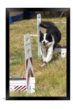 Collie dog in a flyball competition, Framed Print