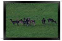 Wild common and melanistic falow deer in Somerset , Framed Print