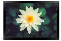 Close-up of blooming white fancy waterlily or lotu, Framed Print