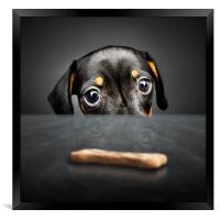 Puppy longing for a treat, Framed Print