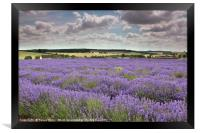 Lavender field in the Cotswolds, Framed Print